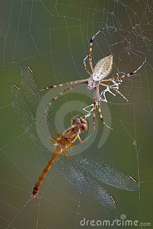 Spider with dragonfly in web