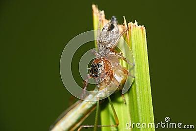 Spider eats shield bug