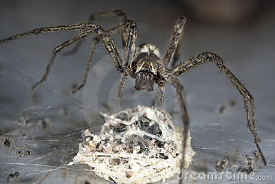 Spider With Egg