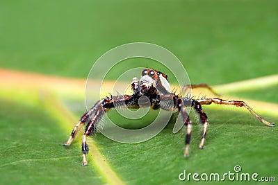 Spider (Epeus Alboguttatus)