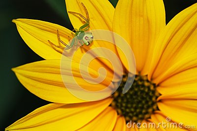 Spider on flower genus Misumena