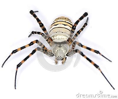 Spider hairy
