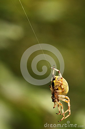Spider hanging on its web