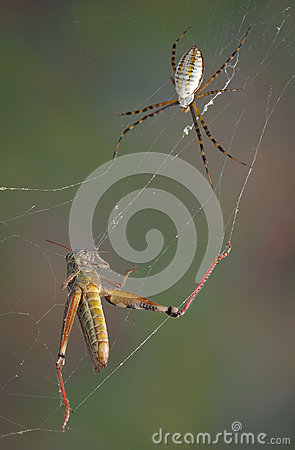 Spider and hopper in web