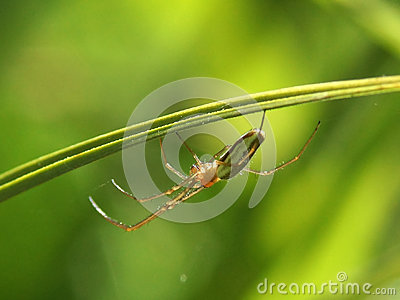 Spider - Long jawed orb weaver