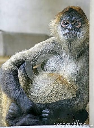 Spider monkey 1