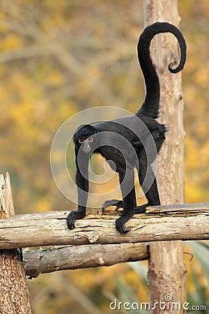 Free Spider Monkey. Stock Photography - 35785462