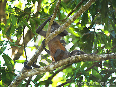 Spider monkey female with baby, costa rica
