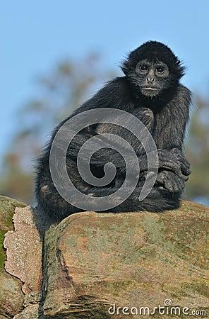 Spider Monkey Portrait