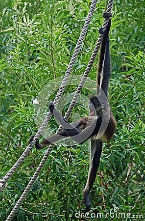 Spider Monkey on rope #2