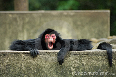 Spider Monkey yawning