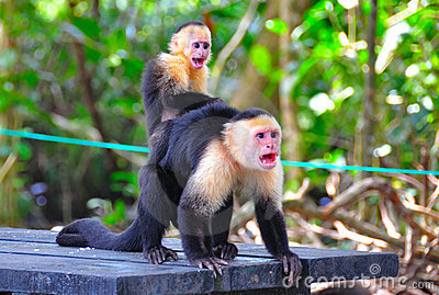 Spider Monkeys screaming, Costa Rica