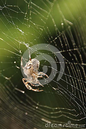 Spider in net