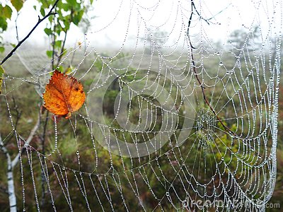 Spider net and birch tree leaf with morning dew, Lithuania Stock Photo