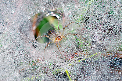 Spider on dew pearl