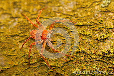Spider - Philodromus