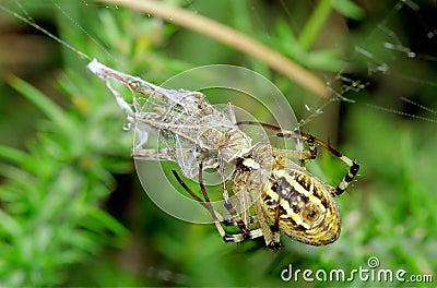 Spider preying at grasshopper. Argiope bruennichi