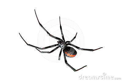 Spider, Redback Or Black Widow, Isolated On White Stock ...