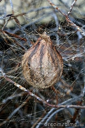 Free Spider S Egg Sac Royalty Free Stock Photo - 16173515