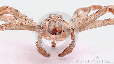 A wolf spider shell  positive close-up