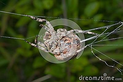 Spider spins spider-web 11