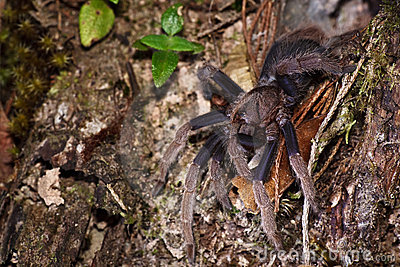 Spider tarantula out from nest