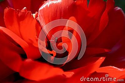 Spider in tulip
