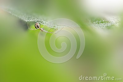 Spider under wet hanging web