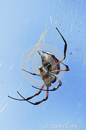 Spider with wasp caught in web