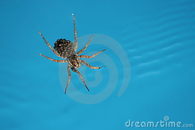 Spider on water