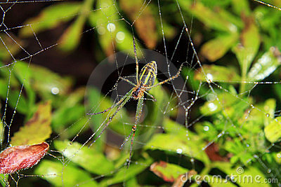 Spider And The Web In The Nature
