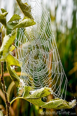 Free Spider Web With Morning Dew Drops Royalty Free Stock Photos - 119503238