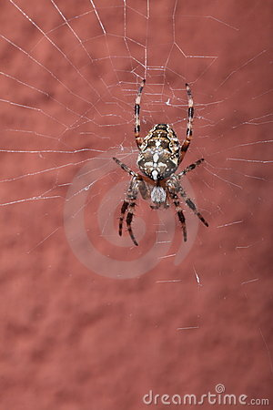 Spider on wet web