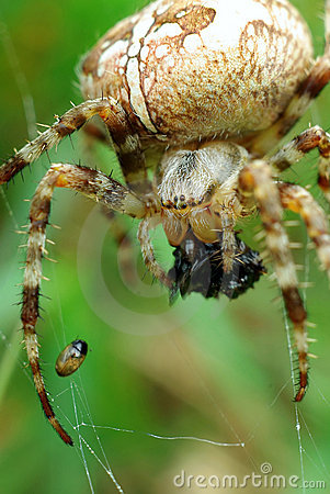 Free Spider With Catch Royalty Free Stock Image - 11645486