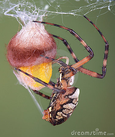 Free Spider Wrapping An Egg Case Stock Images - 3882884