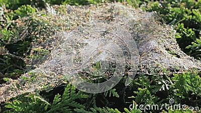 Spiderweb auf dem Busch stock video
