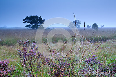 Spiderweb in waterdrops on flowering heather