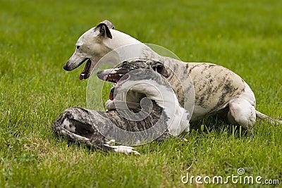 Spielen von Hunden