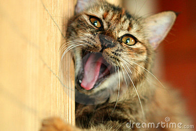 Spielerisches Katze-Gegähne