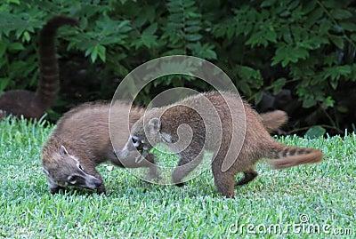 Spielkämpfende Coatis
