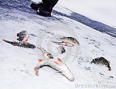 Spigola di pesca attraverso ghiaccio