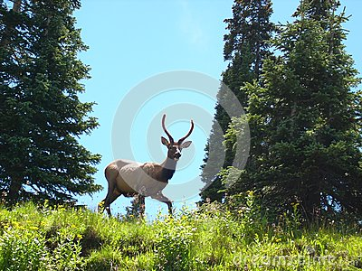Spike Elk Stock Images - Image: 6569554