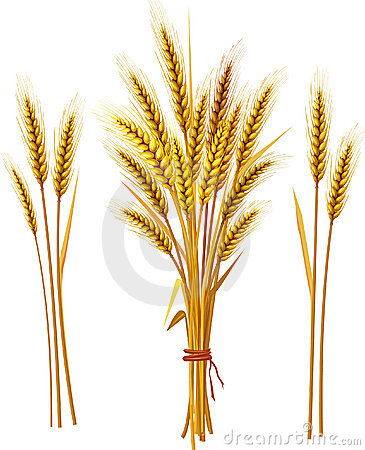 Free Spike Of Wheat Stock Photography - 11111602