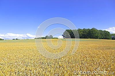 Spiked barley
