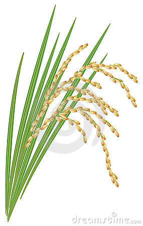 Spikelet of rice on a white background.