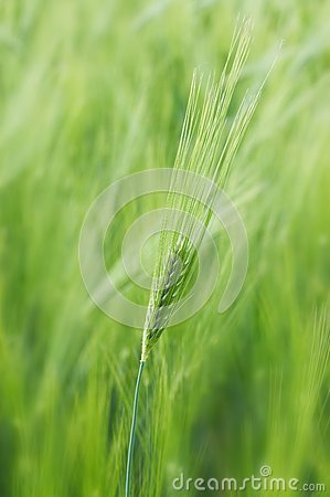 Spikelet of young wheat