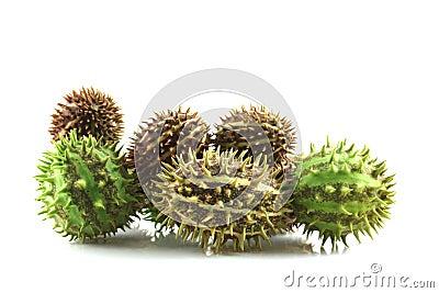 Spiky cucumis fruit mix