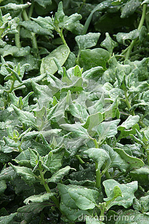 Spinach fresh on the garden bed