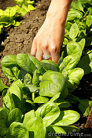 Spinach leaves, growing vegetables