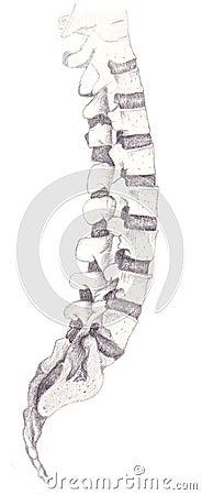 Spinal bones
